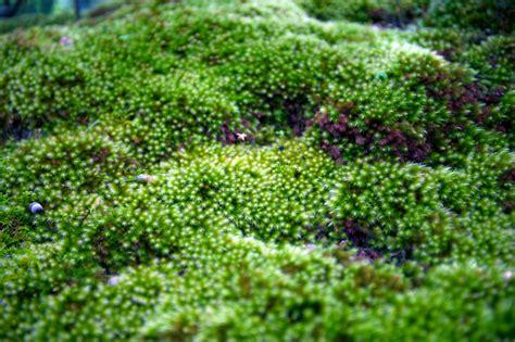 Moos Pflanzen » Standort, Pflanzzeit, Nachbarn, Vermehrung