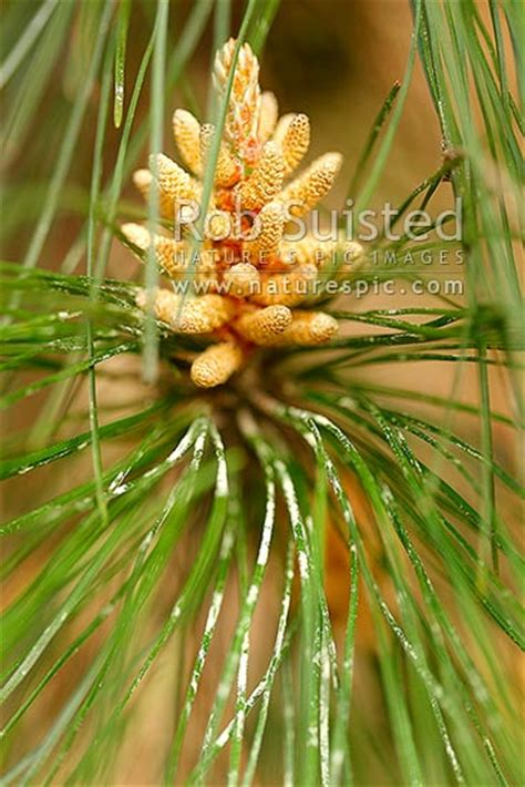 pine tree male cone  pollen pinus radiata plantation