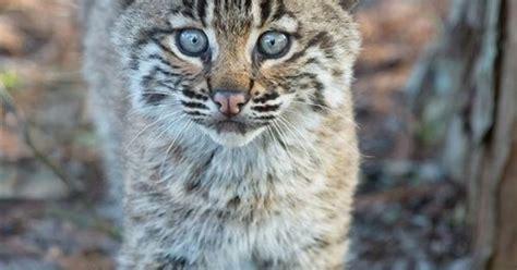 Bobcat Kitten Favorite Wild Animals Pinterest