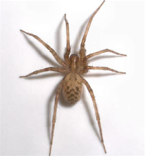 light brown spider light brown spider tegenaria domestica bugguide net