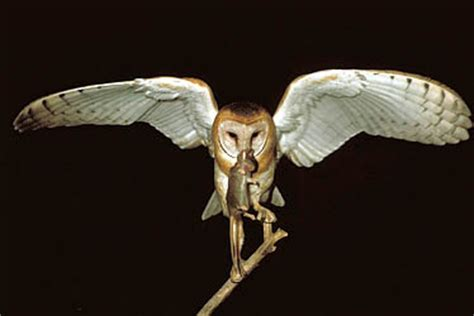 Do Barn Owls Eat Cats by Food Lodging