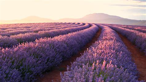 lavender fields  ultra hd wallpaper background image