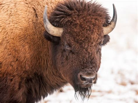 bison    official mammal   united states