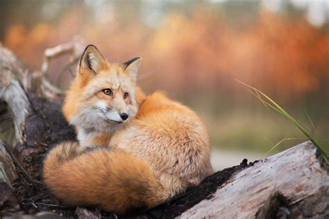 fox animals nature wildlife wallpapers hd desktop