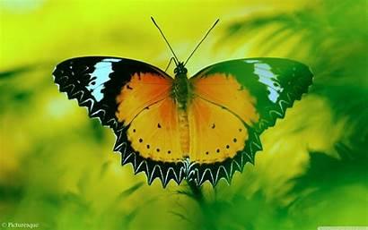 Butterfly Wallpapers Desktop 4k Ultra Background Tablet
