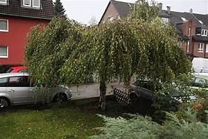 Kleine Bäume Bis 3m : betula pendula youngii trauerbirke ~ Articles-book.com Haus und Dekorationen