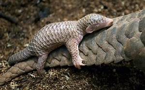 10+ Baby Pangolins Who Are The World's Cutest Artichokes ...