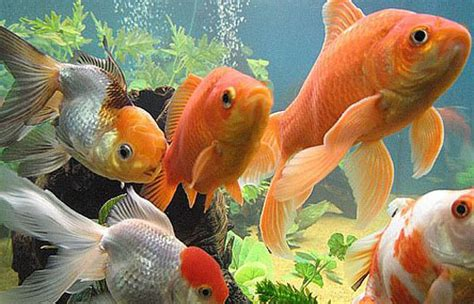 reasons  fish     popular pet