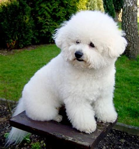 Lhasa Apso Puppy Shedding by Bichon Fris 233 Il Perfetto Cane Da Compagnia Albanesi It