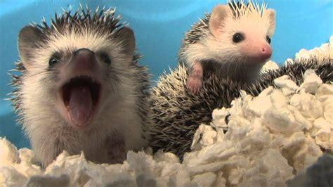 baby hedgehog yawns hd original youtube