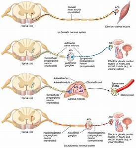 17 Best Images About Human Anatomy On Pinterest