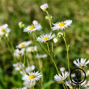 Fleabane Daisy Wildflower Seeds From Mountain Valley Seeds