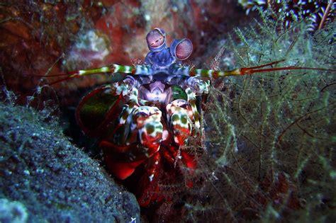 mantis shrimp  australian museum