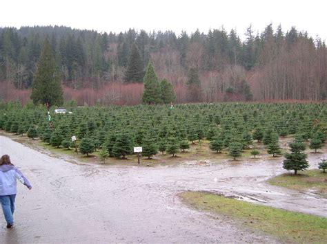 north bend wa christmas tree farm in north bend photo