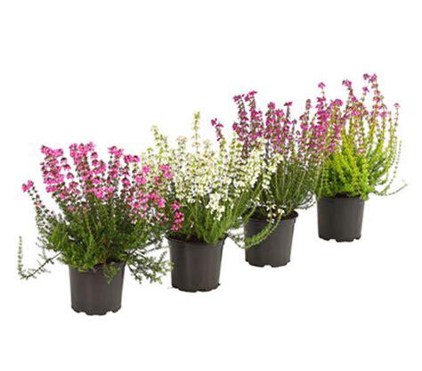 erika pflanze winterhart erika grauheide graue glockenheide dehner garten center