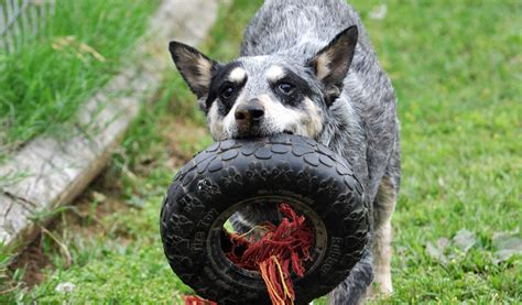 pets  adoption  texas cattle dog rescue  fort
