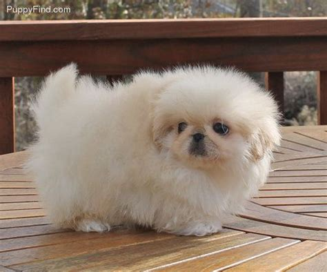 ideas  pekingese puppies  pinterest