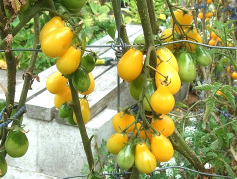Types of tomatoes yellow tomatoes cherry tomatoes grow tomatoes growing tomato plants growing tomatoes in containers heirloom tomato seeds heirloom tomatoes tomato garden. Big Bunny's Yellow Pear Cherry Tomato (Determinate) | Felt