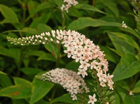 deer resistant flowers bc deer proof garden perennials that whitetails naturally avoid