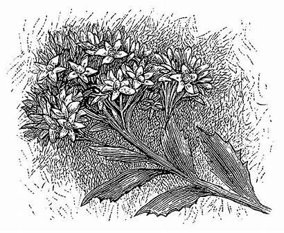 Flower Drawing Clipart Floral Drawings Digital Wildflower