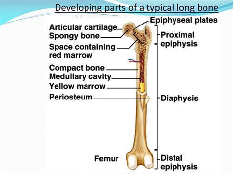Bone anatomy diagram labeling label diagrams parts reference coloring ecdn teacherspayteachers skeleton dunia portal summary. 34 Label The Parts Of A Long Bone - Labels Design Ideas 2020