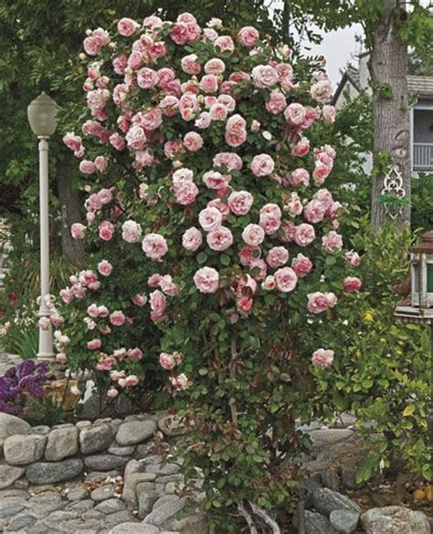 Pearly Gates™ Largeflowered Climbing Rose Name Pearly