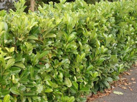 kirschlorbeer im herbst pflanzen wann lorbeerhecke schneiden home ideen