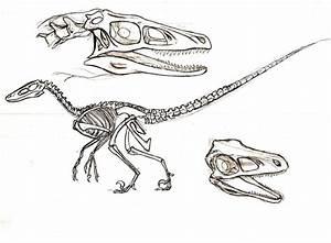 velociraptor skeleton | Dinosaur Sketches | Pinterest