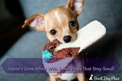 Small Dogs That Stay Small And Don T Shed by Japan S Afair With Small Dogs That Stay Small