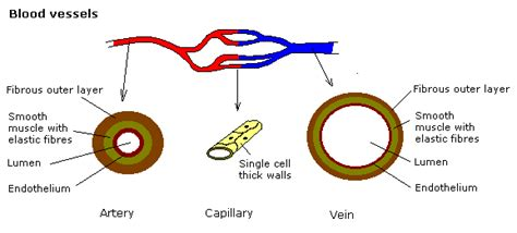 Veins carry blood toward the heart. Labeled Red Blood Cell Diagram - ClipArt Best