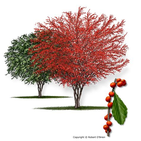 what deciduous tree has berries in winter a m forest service trees of list of trees