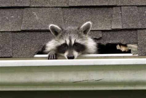 kick raccoons    househumanely