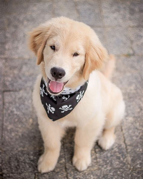 Goldie With Bandana Cute Ones Dogs Dogs Golden