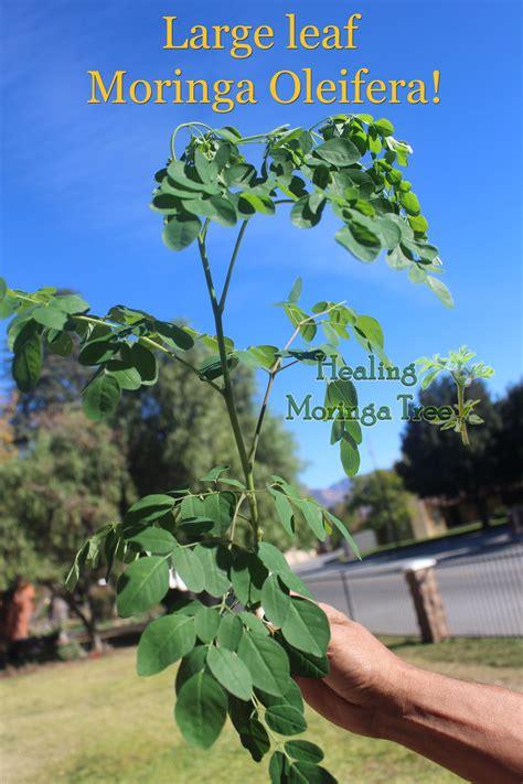 bulk moringa trees  pack
