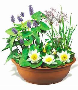 Miniteich Pflanzen Set : mini teich mit wei er seerose miniteich bei baldur garten ~ Buech-reservation.com Haus und Dekorationen