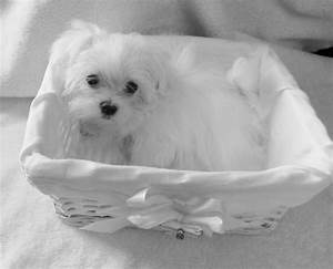 KC Teacup Baby Doll face Maltese Baby Girl | Downham ...