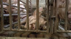 morrisons suppliers pigs pictured crammed  cages