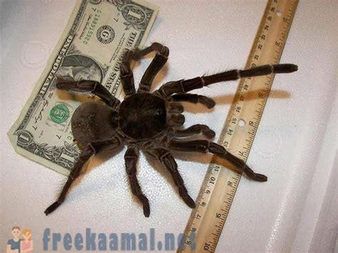 Lielākais zirneklis pasaulē