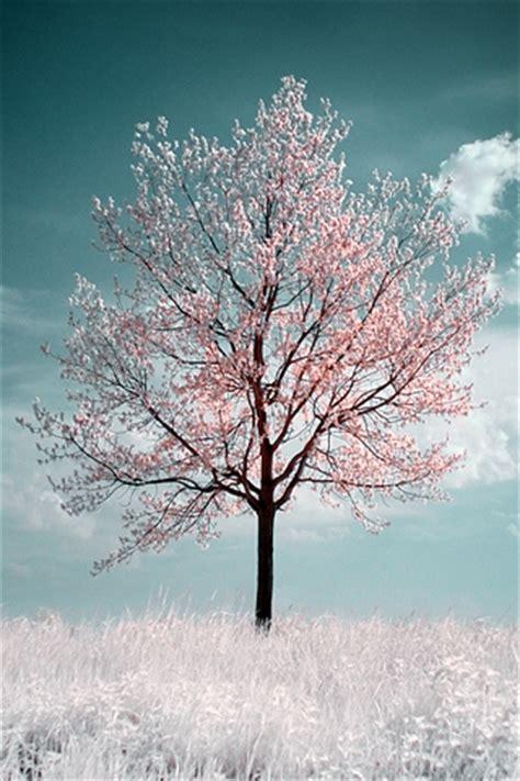 Beautiful Tree Phone Wallpaper by Light Cherry Blossom Iphone Wallpaper Idesign Iphone