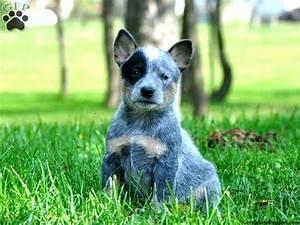 Australian Cattle Dog Puppies Blue Heeler Photo - Happy ...