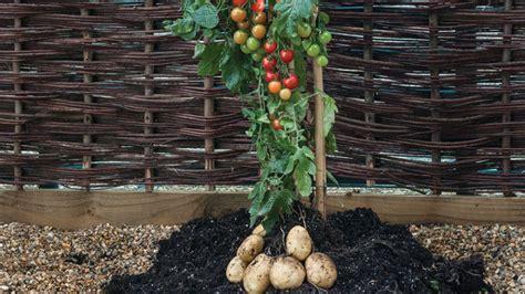 tomtato tomaten und kartoffeln wachsen  einer pflanze