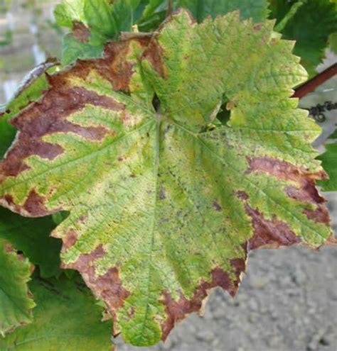 fertilisations phosphat 233 e p potassique k et magn 233 sienne mg de la vigne