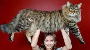 largest cat breed largest cat breeds which are suitable for your home