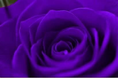 Purple Rose Wallpapers Desktop Flowers