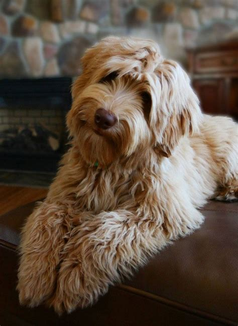 best 25 australian labradoodle ideas on