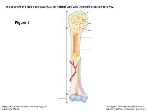 Labeling portions of a long bone learn with flashcards, games and more — for free. Label The Long Bone / Appendicular Skeleton / These bones include some bones of the skull, the ...