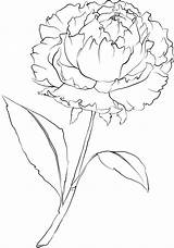 Flower Peony Coloring Drawing Template Stencil Printable Carnation Colouring Beccy Beccysplace sketch template