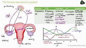 Gcse Biology Hormones In Human Reproduction  Aqa 9-1
