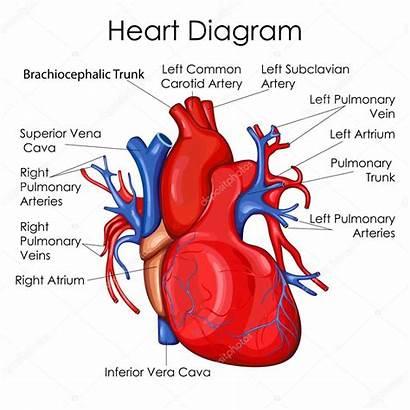 Diagram Medical Biology Education Chart Heart Illustration