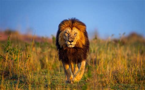 Lion Wallpapers, Pc Lion Most Beautiful Backgrounds (fungyung